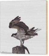Osprey Wit A Trout Wood Print