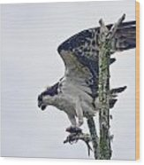Osprey With Fish 4 Wood Print