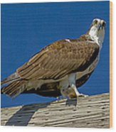 Osprey With Fish In Talons Wood Print