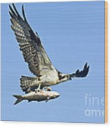 Osprey With Mullet Wood Print