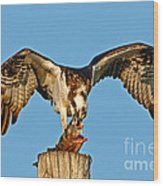 Osprey With Spotted Bass Wood Print