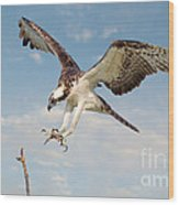 Osprey With Talons Extended Wood Print