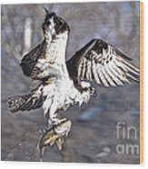 Osprey With Walleye Fish Wood Print