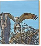 Ospreys Copulating In New Nest2 Wood Print