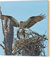 Ospreys Copulating In New Nest3 Wood Print