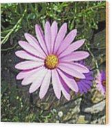 Osteospermum - African Daisy - Pink Wood Print
