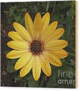 Osteospermum Orange Daisy Wood Print