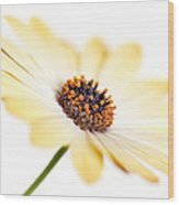 Osteospermum Sunny Flower I Wood Print by Natalie Kinnear