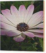 Osteospermum Whiter Shade Of Pale Wood Print