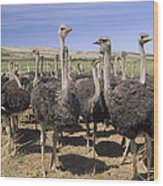 Ostrich Females South Africa Wood Print