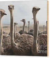 Ostrich Heads Wood Print by Johan Swanepoel