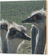 Ostrich Round-up Wood Print