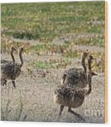 Ostrich Young Wood Print