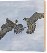 Young Peregrine Falcon And Ma Share In The Air Wood Print