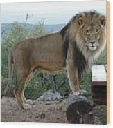 Out Of Africa  Lion 1 Wood Print