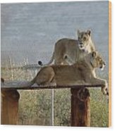 Out Of Africa Lions Wood Print