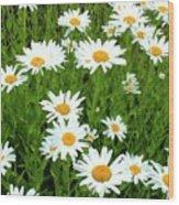 Ox-eye Daisies (leucanthemum Vulgare) Wood Print