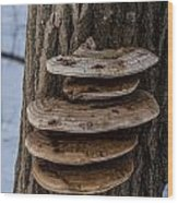 Oyster Mushrooms Wood Print