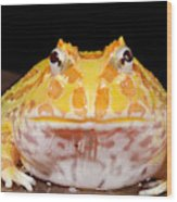 Pac Man Frog Ceratophrys On A Rock Wood Print
