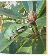 Pacific Chorus Frog On A Rhodo  Wood Print