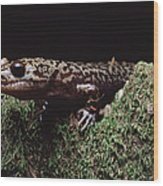 Pacific Giant Salamander On Mossy Rock Wood Print