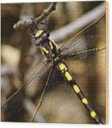 Pacific Spiketail Dragonfly On Mt Tamalpais 2 Wood Print
