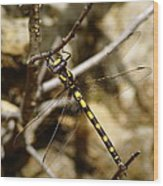 Pacific Spiketail Dragonfly On Mt Tamalpais Wood Print