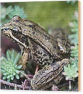Pacific Tree Frog Among Succulent Plant Wood Print by David Gn