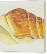 Pacific Triton Sea Shell Wood Print