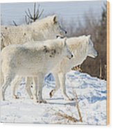 Pack Of Arctic Wolves Wood Print