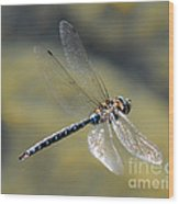 Paddletail Darner In Flight Wood Print
