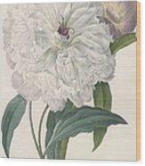 Paeonia Flagrans Peony Wood Print