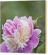 Paeonia Lactiflora 'raspberry Sundae' Wood Print