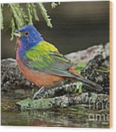 Painted Bunting Drinking Wood Print