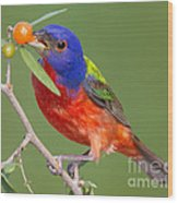 Painted Bunting Eating Granjeno Berry Wood Print