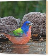 Painted Bunting Passerina Ciris In Water Wood Print