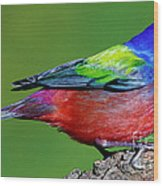 Painted Bunting Passerina Ciris Wood Print