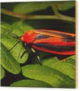 Painted Lichen Moth Wood Print