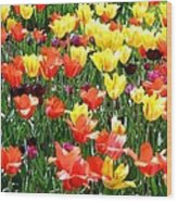 Painted Sunlit Tulips Wood Print