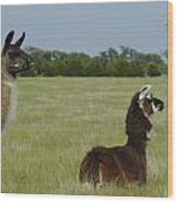 Pair Of Alpacas Wood Print