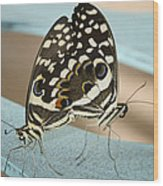 Pair Of Citrus Swallowtail Butterflies  Wood Print