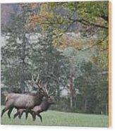 Pair Of Elk Bulls Wood Print