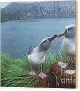 Pair Of Grey-headed Albatross Wood Print