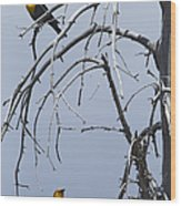 Pair Of Male Yellow-headed Blackbird   #9521 Wood Print