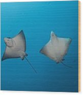 Pair Of Spotted Eagle Rays Wood Print