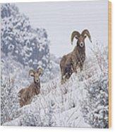 Pair Of Winter Rams Wood Print