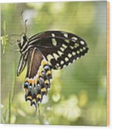 Palamedes Swallowtail 2 Wood Print