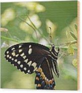 Palamedes Swallowtail Wood Print