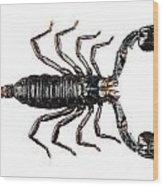Palamnaeus Fulvipes Wood Print