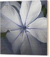Pale Blue Plumbago Flower Close Up  Wood Print